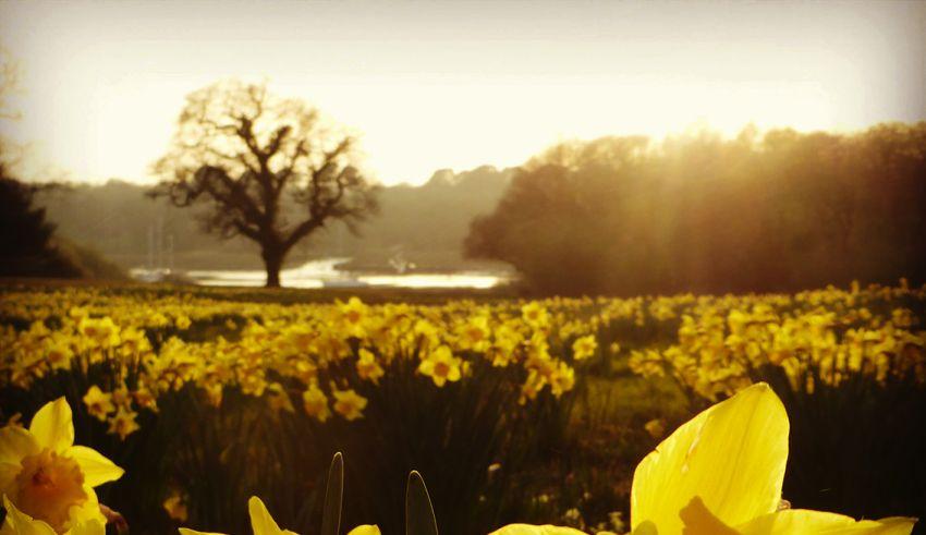 Daffodils at Exbury